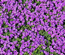ROCK CRESS PURPLE Aubrieta Deltoidea - 2,000 Bulk Seeds