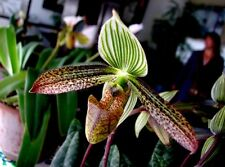 growths(plants) Paphiopedilum  wardii  BLOOM SIZE