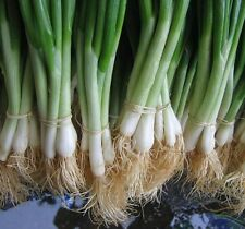 TOKYO WHITE BUNCHING ONION SEEDS * 100 COUNT PKT. * MILD * CRISP * SWEET *
