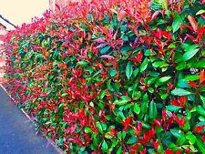 15 Photinia Red Robin Hedging Plants 30-40cm Evergreen Hedge Shrubs