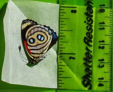 Zelphanta Numberwing Butterfly Callicore hystaspes Folded/Papered FAST FROM USA