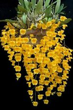 Orchid Plant Seedling- rare Collections Dendrubium Yellow