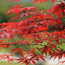 10PCS JAPANESE MAPLE TREE Acer Palmatum Red Maple Seeds NEW