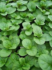 """Orange Mint - Grow Indoors or Out - 4"""" Pot"""
