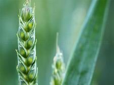 NATURE GRASS SEED GREEN CLOSE UP POSTER ART PRINT HOME PICTURE BB123A
