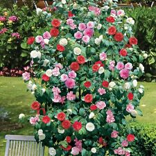3 X Mixed Colour Camellia Luxurious Evergreen Shrub
