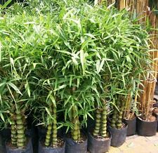 Small Bamboo / Ornamental Bamboo / Bambusa 50 Seeds Pack