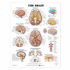 THE BRAIN POSTER (66x51cm) ANATOMICAL CHART NEW EDUCATIONAL