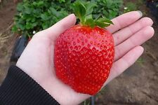 200 SEMI di FRAGOLA GIGANTE rara Fragaria ANANASSA enorme frutta biologica Heirloom