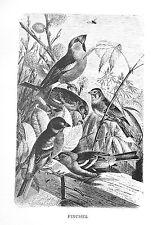 1885 FINCHES J.G.Wood/NICE BW Antiquarian BIRD PRINT L@@K!