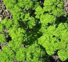 Parsley Heirloom Herb Seed MOSS CURLED 1000 SEEDS Culinary Medicinal Teas