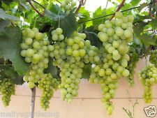 Live Sweet Grapes Vine fruit Plant-1 Healthy Plant - Pack In 1 Pot