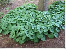 Wild ginger Seeds AKA Canadian Ginger ,vigorous groundcover, 25 Seeds Perennial.