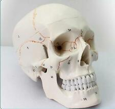 Life Size Human Anatomical Anatomy Head Skeleton Skull Teaching Model Precise @
