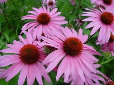 Coneflower- Purple- 200 Seeds - 50 % off sale