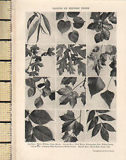 1927 PRINT ~ LEAVES OF BRITISH TREES ~ WILLOW BEECH MAPLE WYCH ELM PLANE ASH
