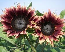 Sunflower Seeds - CHERRY ROSE - Helianthus Annuus - Uniquely Beautiful- 10 Seeds