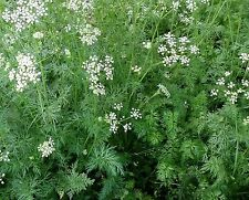 Cumin Seeds- Heirloom Herb-  500+ Seeds     $1.69 Max Shipping!