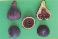 Delicious Fig Trees * Ficus Carica Var. COLL DE DAMA NEGRA 3 fresh cuttings