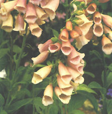 150 graines DIGITALE ABRICOT(Digitalis Purpurea APRICOT BEAUTY)X154 SEEDS SAMEN