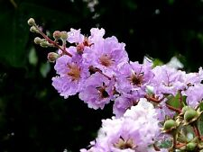 35 LILAC CREPE MYRTLE Crape Tree Shrub Lagerstroemia Flower Seeds +Gift & CombSH