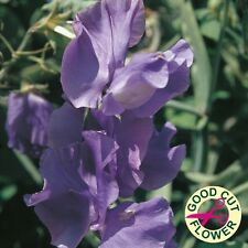 Pack Flower Seeds Sweet Pea 'Blue Velvet' Kings Quality Garden Seeds
