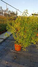 PROMOZIONE Citronella - Cedrina - Lippia Citriodora vaso 17