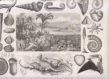 Tavola naturalistica, fossili conchiglie 1850 xilografia