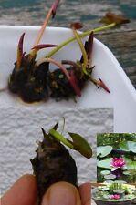 rote Bonsai Seerose blühende schnellwüchsige Wasserpflanzen für das Aquarium