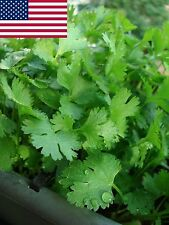 Cilantro Seeds- Organic- Coriander- Herb- 200+ Seeds Grown in 2016 for 2017