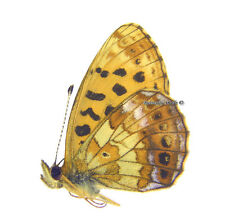 Unmounted Butterfly/Nymphalidae - Boloria thore hyperusia, male, Russia