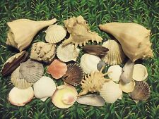 "Assortment Shell Collection Lot of Beautiful 1.5"" to 6.5"" Seashells"