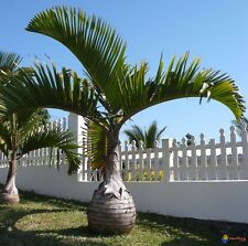 ***100  fresh  SEEDS***HYOPHORPE LAGENICAULIS***BOTTLE PALM***
