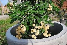 Dwarf Longan Sri Chompoo Aka Dragon Eye Exotic Fruit Seeds, 10 Seeds