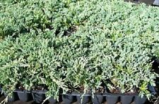 Juniper Blue Rug Ground Cover  1 Tray - 60 plugs