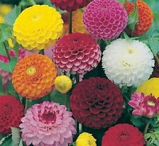 DAHLIA  - POMPONE DOUBLE MIXED - 90 FINEST SEEDS