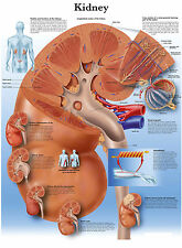 A3 Medical Poster - The Human Kidney (Text Book Anatomy Pathology Doctor)