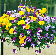 HYBRID PANSY - Swiss - Giant Mixed - Multicolor Flower Seeds - Pack of 30 Seeds.