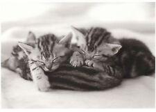Ansichtskarte, s/w: zwei Katzenkinder schlafen auf ihrer Mama - sleeping kitten