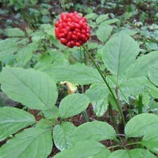 500+ Hardy Chinese / korea panax ginseng seeds Free shipping