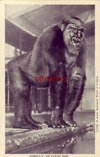 ST. LOUIS ZOO gorilla Phil in Ape House cpyrt 1948 Zoological Board of Control