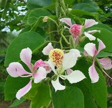 Bauhinia climbing orchid! Rare, fast growing! Fresh seeds flower,shrub, hardy