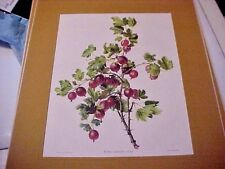 """Carlos von Riefel print of Red Gooseberries """"Ribes Grossularia"""" in gold mat"""