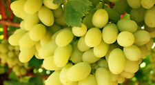 Two year old grape vine plant Thompson seedless, growing new vines and leaves