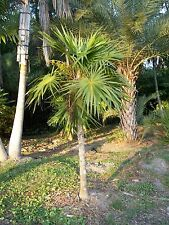 Thrinax radiata - Florida Thatch Palm - 20 Fresh Seeds