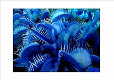 Promotion!!! Blue Dionaea Muscipula Giant Clip Venus Flytrap Seeds Bonsai plants