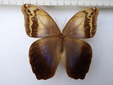 Eryphanis polyxena LYCOMEDON Weibchen (F) from Panama border, rare  No: 639