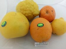 40 Mixed Citrus Fresh Seeds Israel Grapefruit Lemon Orange Tangerine Etrog זרעים