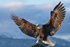 Framed Print - American Eagle Coming in to Land (Picture Poster Wild Bird Art)