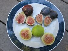 12 Heirloom Fig Tree Cuttings - Ficazzana Black, Malta Black, Fracazano Bianco